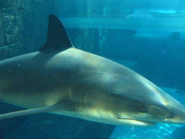 One of the 100 sharks in the World's largest indoor/outdoor aquarium