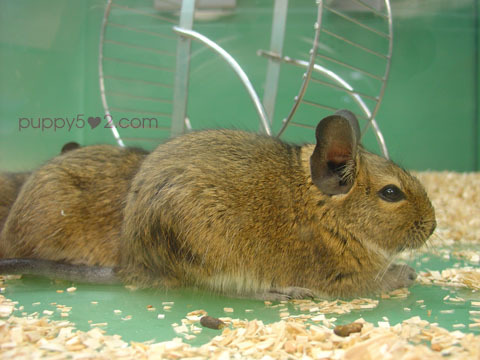 another gerbil :3