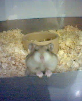 Russian Hamster in Pet Shop